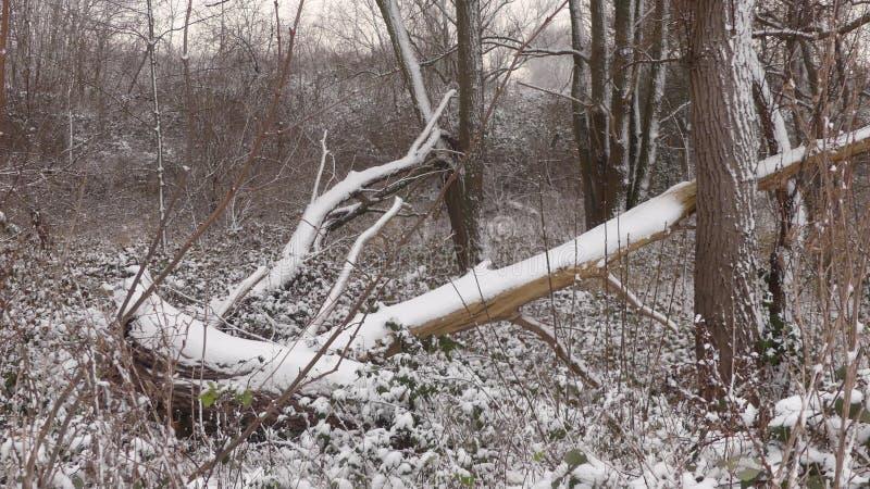 Drzewo zakrywający w śniegu zdjęcie royalty free