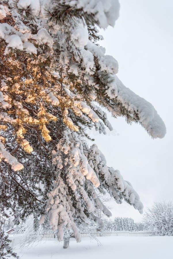 Drzewo zakrywający w śniegu blisko Sirkka w Lapland, Finlandia zdjęcia royalty free