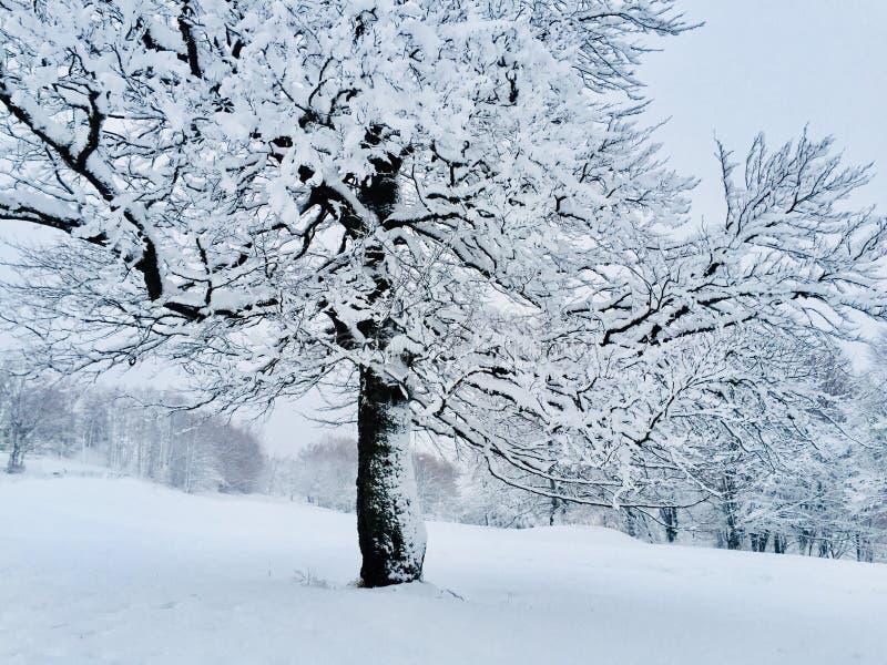Drzewo zakrywający w śniegu w zimie obraz royalty free