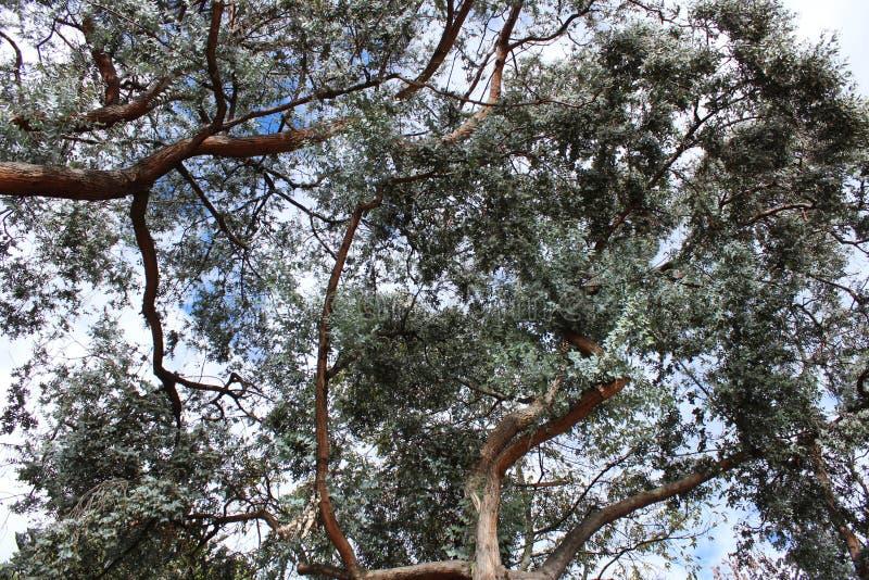Drzewo zbroi niebo obraz royalty free