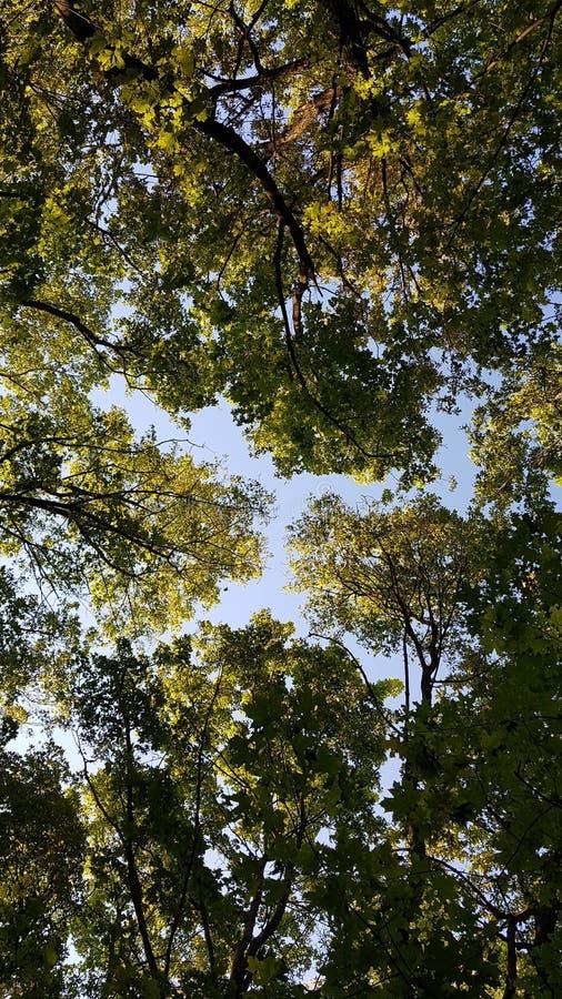 Drzewo zieleni niebo i korony obrazy stock