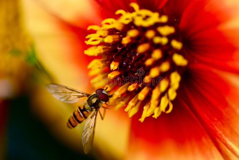 Hover fly on bright orange flower. A small hover fly on a large flower in the botanical gardens of London stock photo