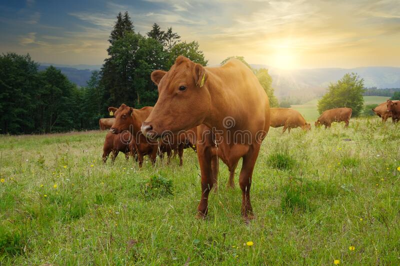 Red cattle of the Harz, Germany Harzer Rotvieh. royalty free stock images