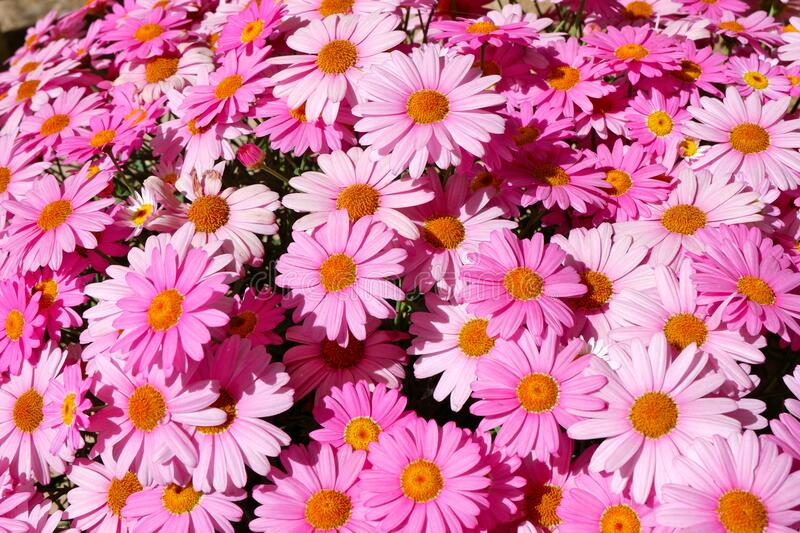 Pink daisy flowers growing outdoors. Close up of Pink daisy flowers growing outdoors. Backdrop, background royalty free stock images