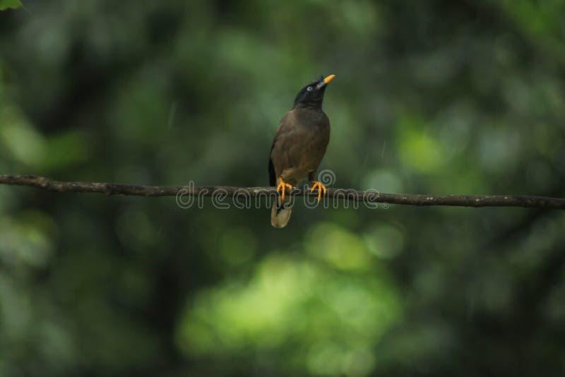 Dschungel Myna stockbilder