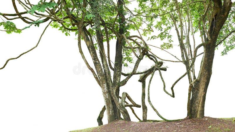 Dschungelbäume mit großer Rebliane pflanzen das Klettern und verdrehten a stockfotos