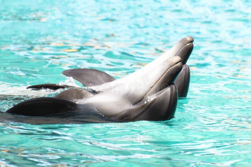 Dsnce för två dolpfins i pölen Lovly dans arkivfoto