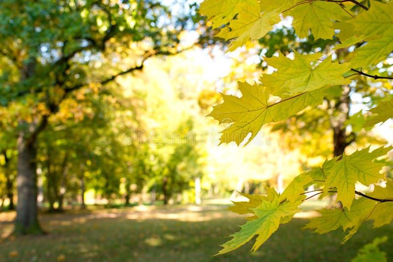 Dtail de hojas de arce foto de archivo libre de regalías