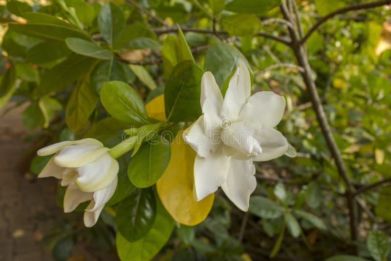 Duży biały tropikalny kwiat na zielonej gałąź zamkniętej w górę zamazanego drzewnego tła dalej fotografia stock