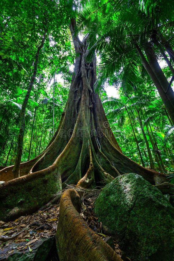 Duży figi drzewo z ogromnym korzeniowym systemem w tropikalnym lesie deszczowym fotografia stock