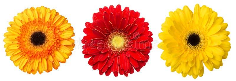 Duży wybór Kolorowy Gerbera kwiatu Gerbera jamesonii Odizolowywający na Białym tle Różnorodna czerwień, kolor żółty, pomarańcze,  zdjęcie stock