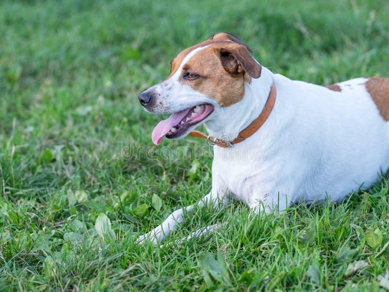 Duńscy szwedzi Farmdog zdjęcie royalty free