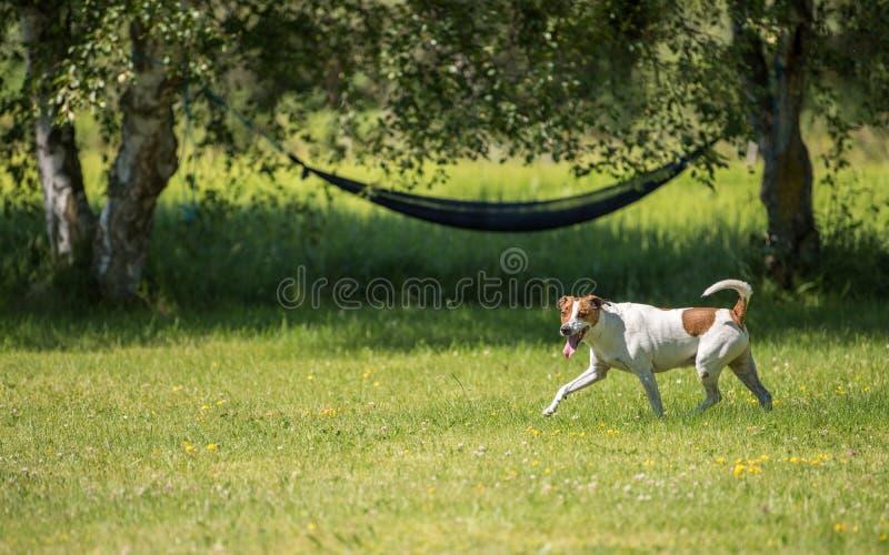 Duńscy szwedzi Farmdog obraz stock