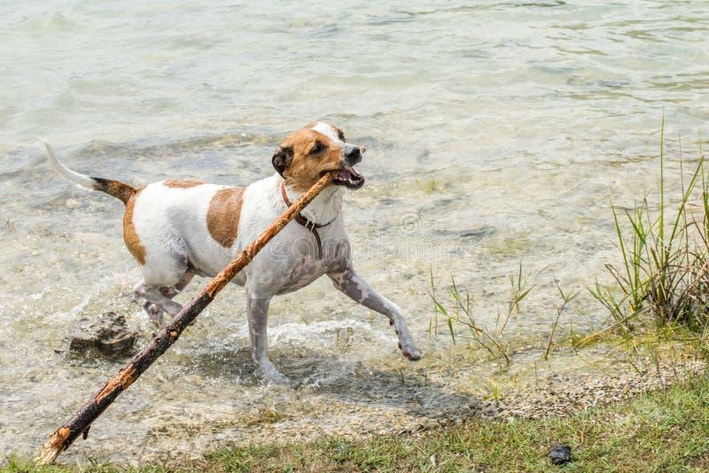 Duńscy szwedzi Farmdog zdjęcie stock