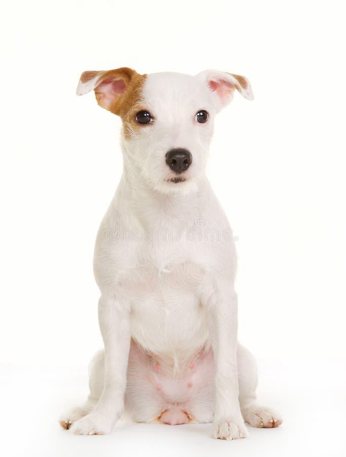 Duńscy szwedzi Farmdog zdjęcia stock