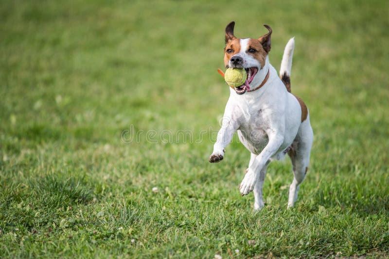 Duńscy szwedzi Farmdog obraz royalty free