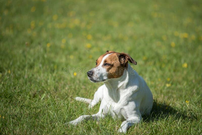 Duńscy szwedzi Farmdog zdjęcia royalty free