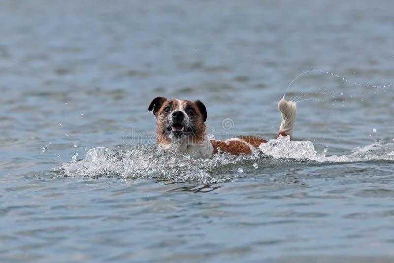 Duńska Szwedzka Farmdog sztuka w wodzie obraz stock