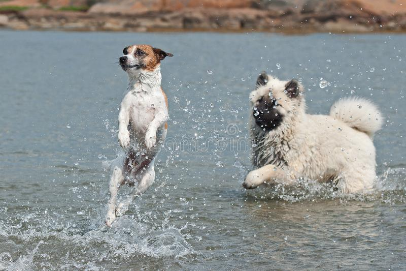 Duński szwedzi gospodarstwo rolne psi i Eurazjatycki szczeniak bawić się w morzu zdjęcie royalty free