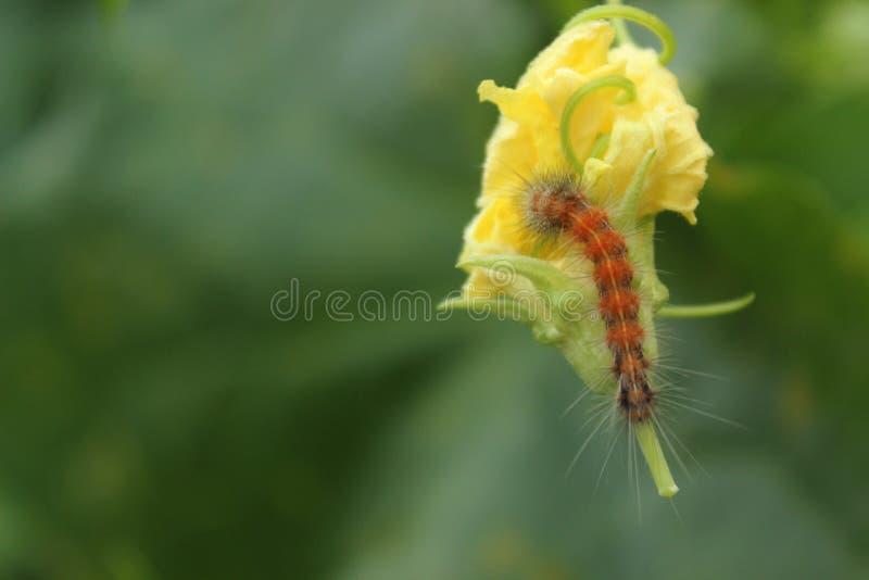 Duża żółta gąsienica i kwiat zdjęcie stock