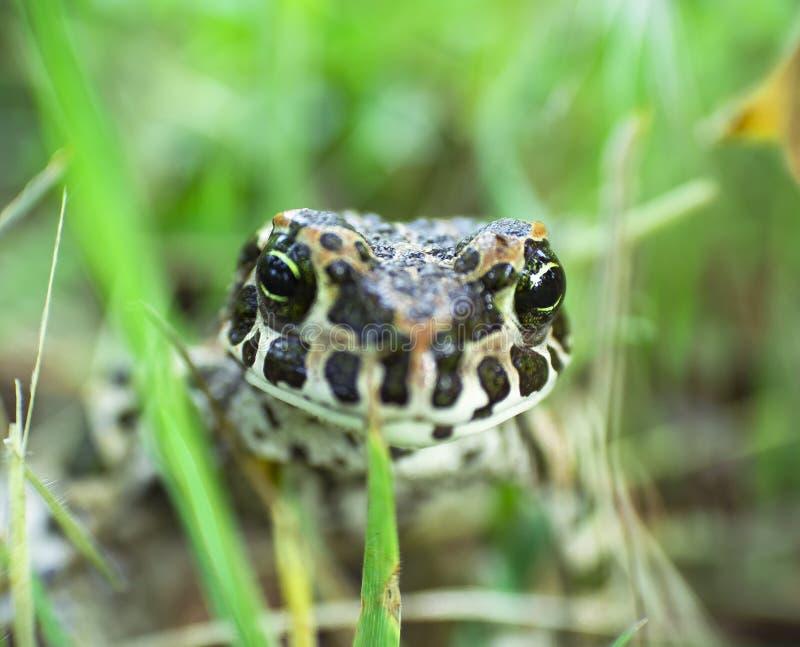 Duża żaba na zielonej trawie obraz stock
