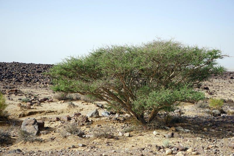Duża akacja w rockowej pustyni obrazy royalty free