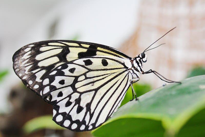 Duża biała motylia pozycja na zielonym liściu fotografia royalty free