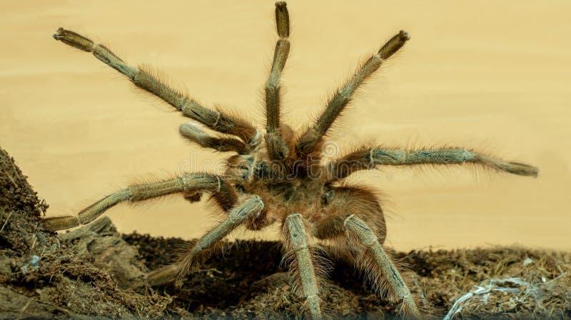Duża Brown tarantula zdjęcie stock