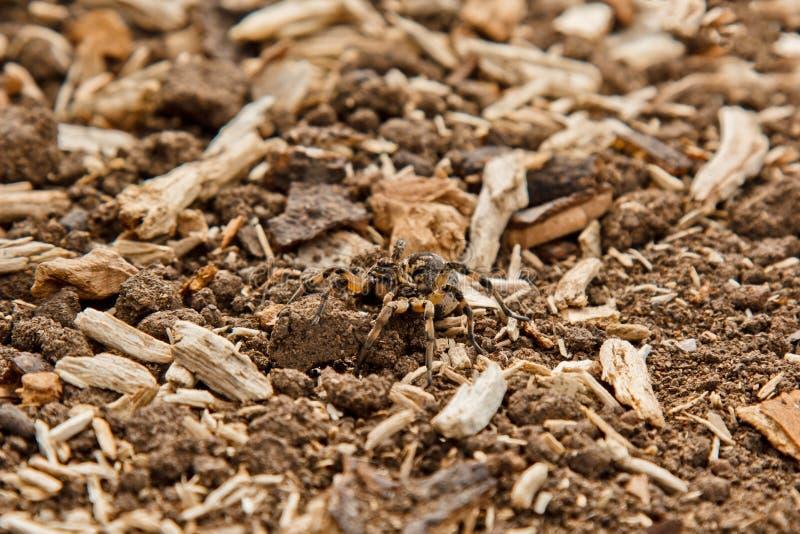 Duża brzydka skokowa pająk tarantula siedzi na ziemi doros?y kosmaty wilczego paj?ka czo?ganie zamkni?ty w g?r? makro- fotografia royalty free