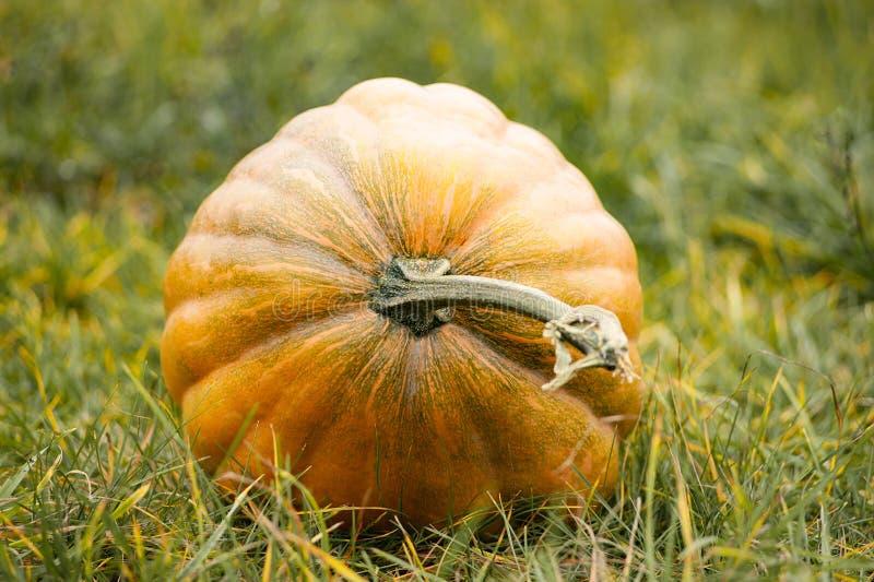 Duża dojrzała bania na trawie jesienią zbliżenie kolor tła ivy pomarańczową czerwień liści pojęcia odosobniony natury biel Hallow zdjęcia stock