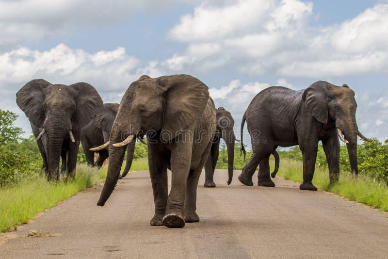 Duża grupa słonie chodzi po środku drogi w sawannie zdjęcie royalty free