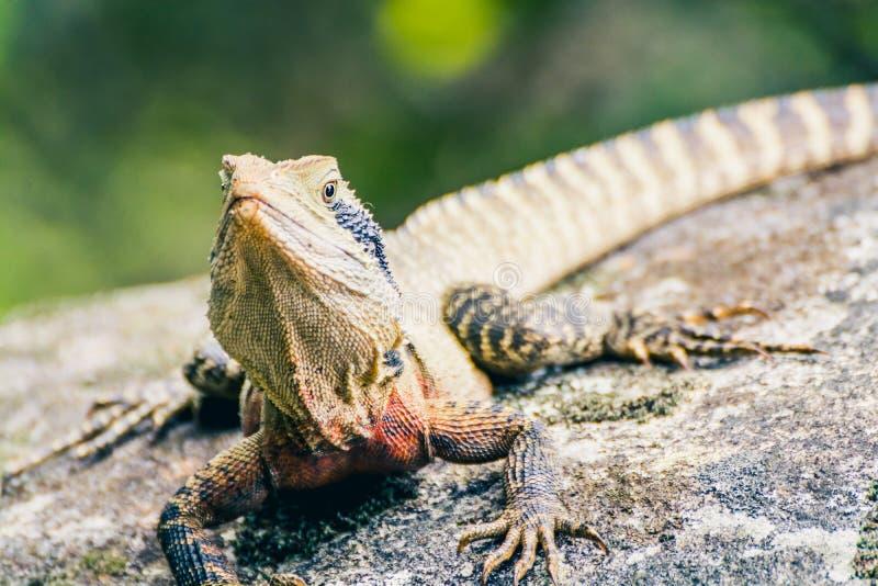 Duża jaszczurka jest grzejna up na kamieniu w dzikiej naturze fotografia stock
