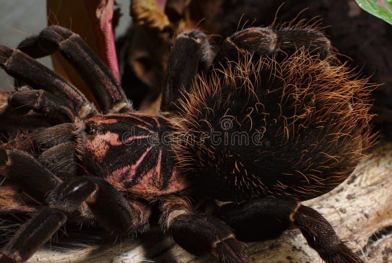 Duża kobieta Kolumbijscy Lesserblack tarantuli Xenesthis immanis obraz royalty free