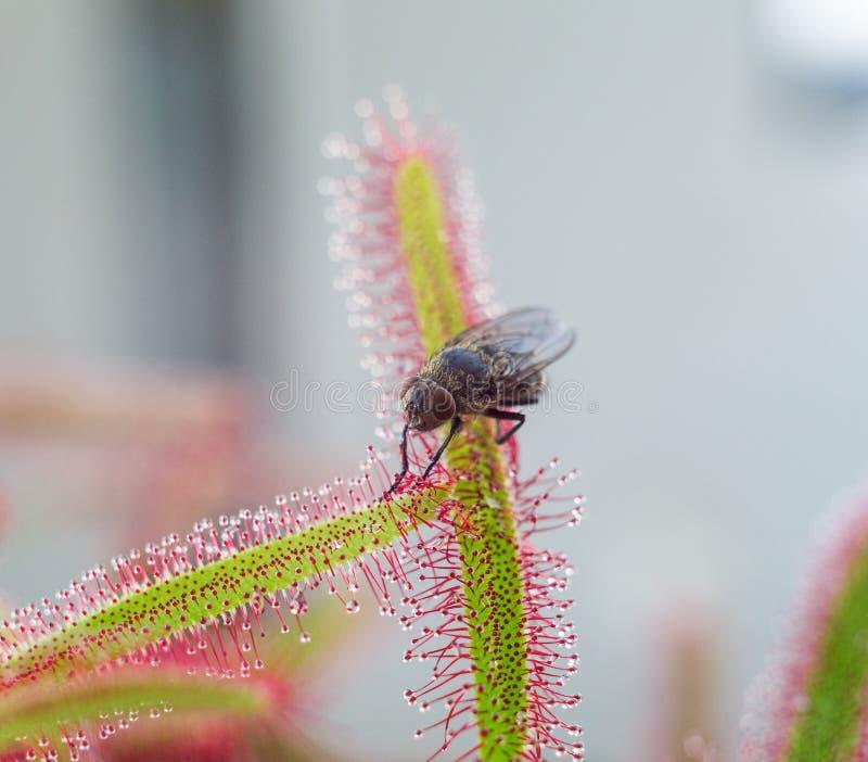 Duża komarnica catched rosiczką - zakończenie up (drosera) fotografia stock