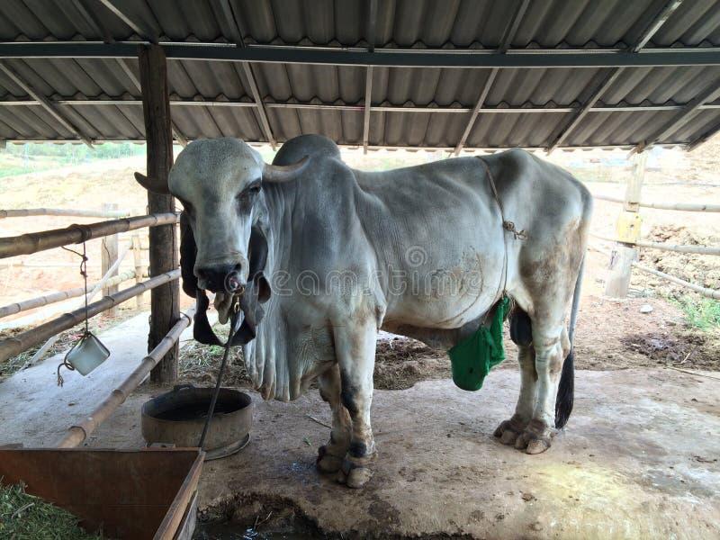 Duża krowa zdjęcia stock
