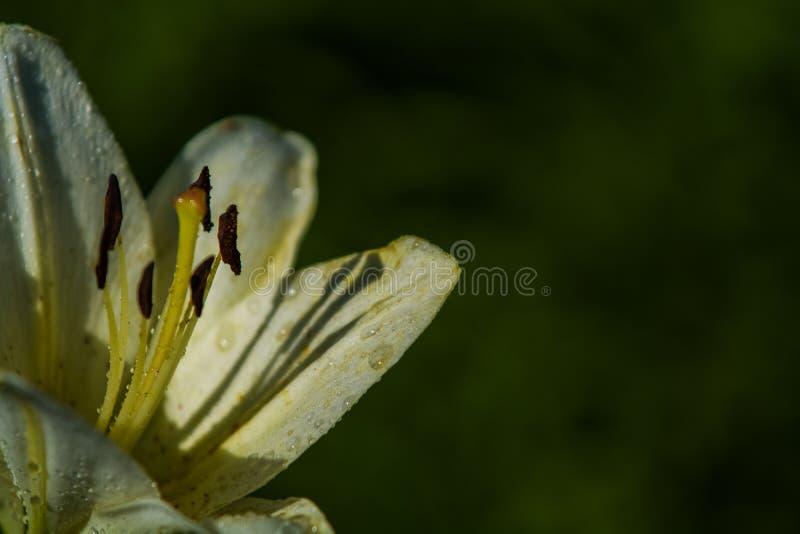 Duża leluja, biała z żółtym kolorem, okwitnięcia w lecie uprawia ogródek pi?kne kwiaty Monophonic t?o obraz stock