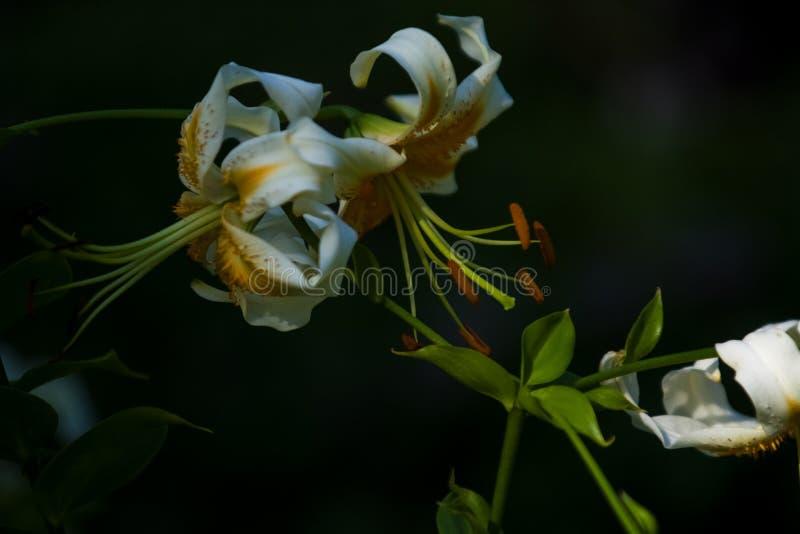 Duża leluja, biała z żółtym kolorem, okwitnięcia w lecie uprawia ogródek pi?kne kwiaty Monophonic t?o obraz royalty free