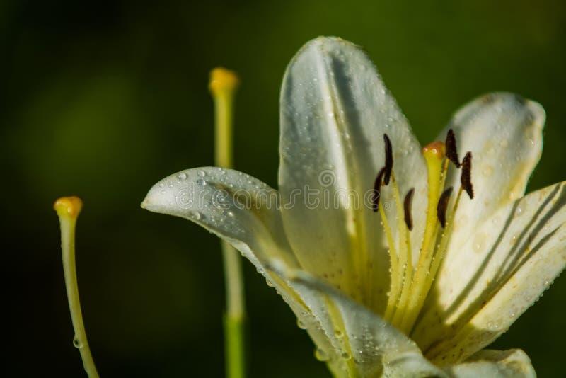 Duża leluja, biała z żółtym kolorem, okwitnięcia w lecie uprawia ogródek pi?kne kwiaty Monophonic t?o zdjęcia royalty free