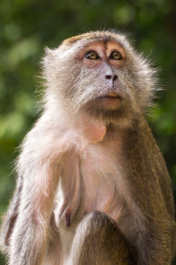 Duża małpy matka zdjęcie royalty free