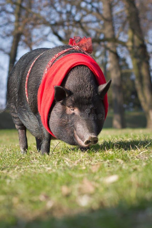 Duża, ogromna śliczna świnia na długim spacerze w/parkowym, botanicznym Garde/ fotografia stock