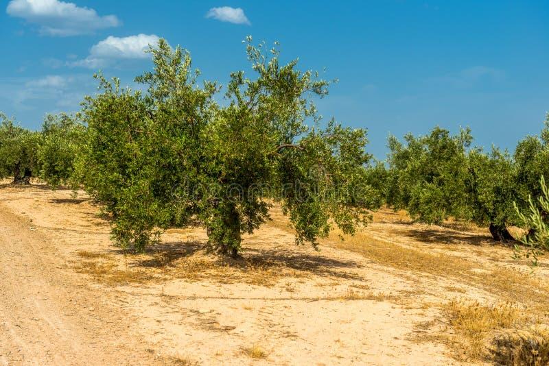 Duża oliwna plantacja z starymi drzewami oliwnymi w Hiszpania zdjęcia royalty free