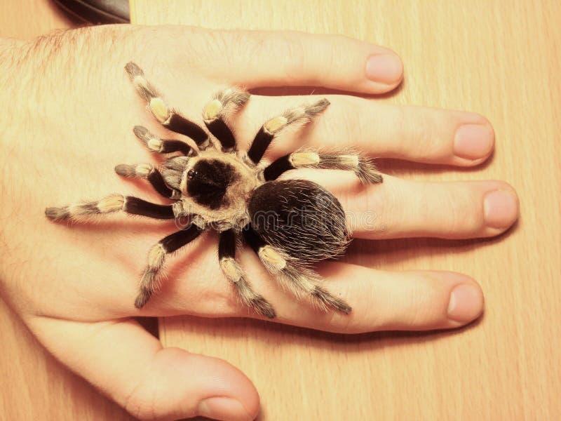 Du?a paj?k tarantula w r?ce, brachypelma smithi zdjęcia stock