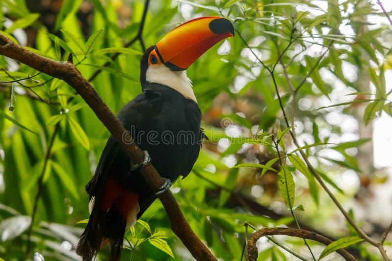 Duża pomarańcze wystawiał rachunek pieprzojada obsiadanie na gałąź w tropikalnym lesie deszczowym fotografia royalty free