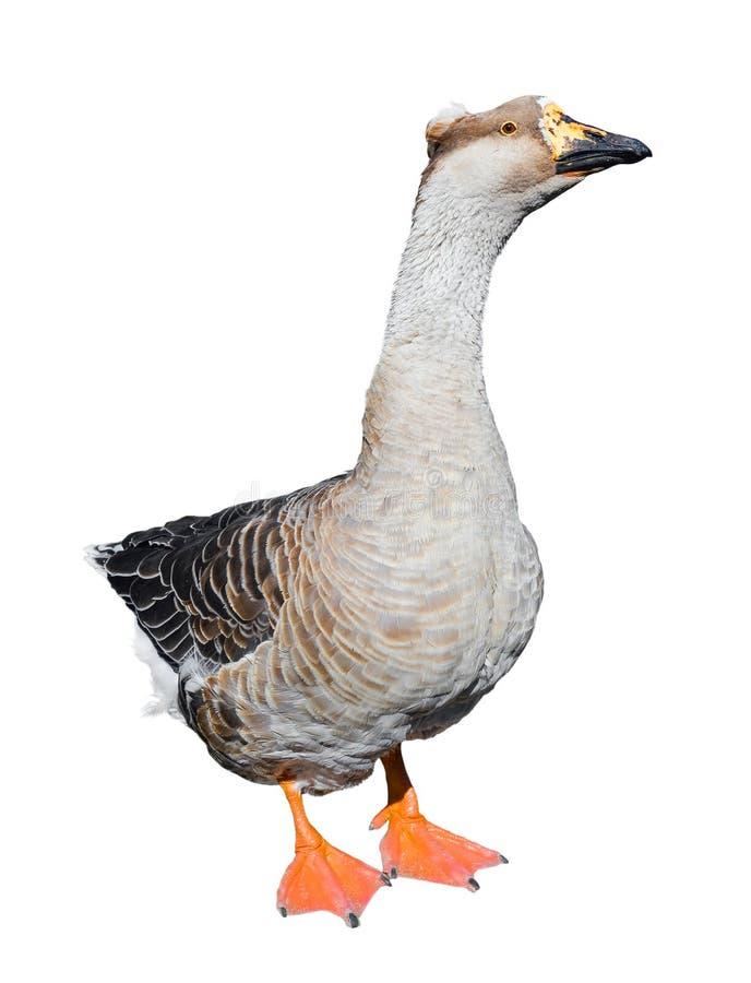 Duża popielata żeńska gąska odizolowywająca na białym tle Śmieszny gęsi długi zakończenie up Rolny ptak fotografia stock