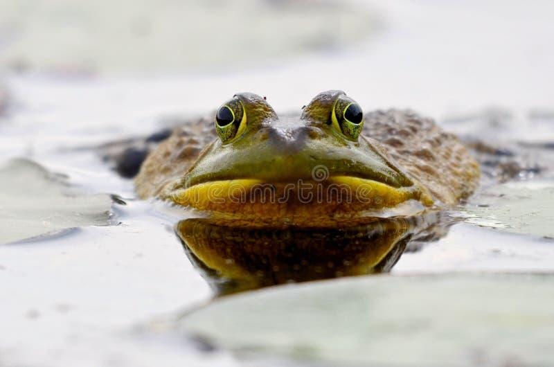 Duża przyglądająca się zielona żaba zdjęcia stock