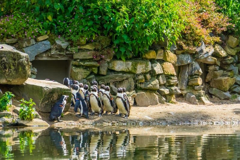 Duża rodzina afrykańscy czarni footed pingwiny wpólnie w zoo, tropikalny wodnego ptaka specie od wybrzeża Afryka obraz stock