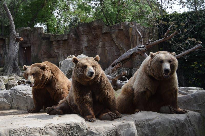 Duża rodzina niedźwiedzie zdjęcia royalty free