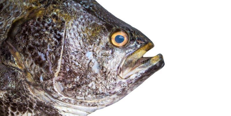 Duża ryba odizolowywa Dennej ryba głowy zbliżenie z blaszkami i szalkową teksturą zdjęcie royalty free