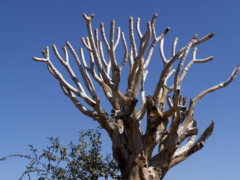 Duża smoka drzewa centrala Namibia obrazy stock