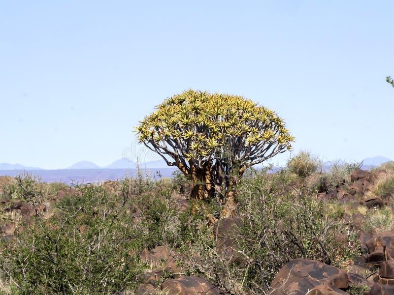 Duża smoka drzewa centrala Namibia zdjęcia stock